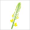 食べても美味しい!菜の花! イラレ/ベクトルデータ【無料配布】