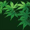 色づく前の緑色のもみじの葉のイラストレーター素材です