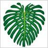 南国の植物、モンステラの葉っぱ