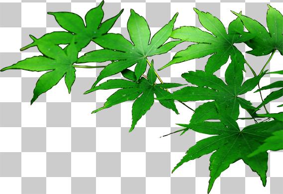 緑色のもみじの葉の切り抜きデータ