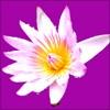 睡蓮の花の切り抜き画像