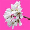 桜の花の切り抜き画像