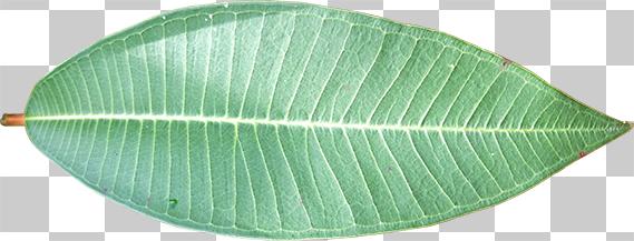 葉脈のはっきりした葉の切り抜き画像