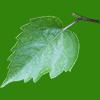 少しギザギザした葉の切り抜き画像
