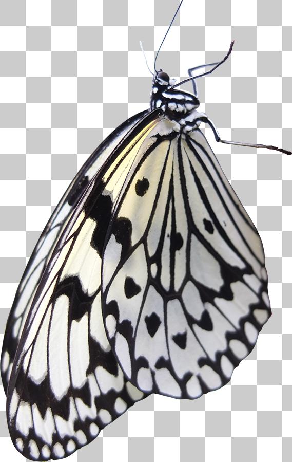 横から見た白いアゲハチョウ