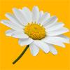 マーガレットの花の切り抜き画像