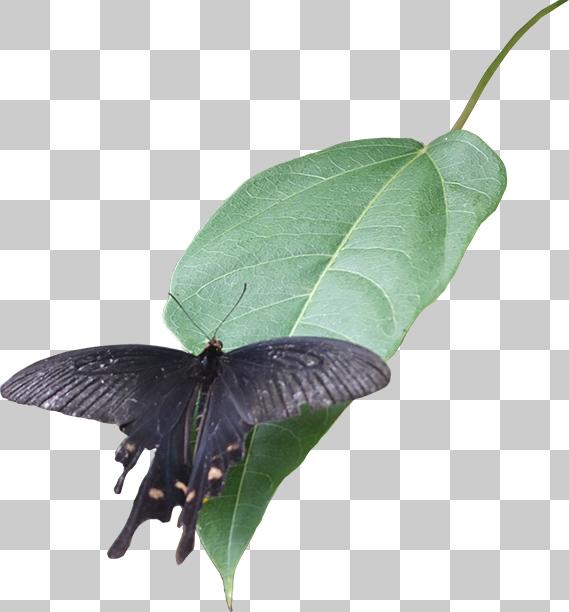 黒いアゲハ蝶の切り抜き画像