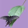 葉の上で一休みする黒いアゲハ蝶