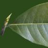 細長い葉の切り抜き画像
