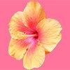 黄色いハイビスカスの花の切り抜き画像