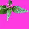 星形の小さなピンクの花と緑緑しい葉っぱの切り抜き画像