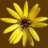 真上から見た黄色い花の切り抜き画像