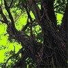 沖縄のガジュマルの切り抜き画像