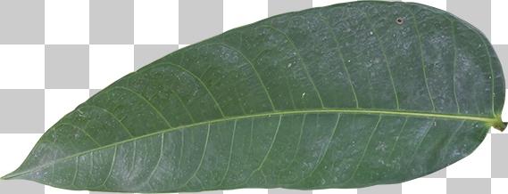 細長い葉っぱの切り抜き画像