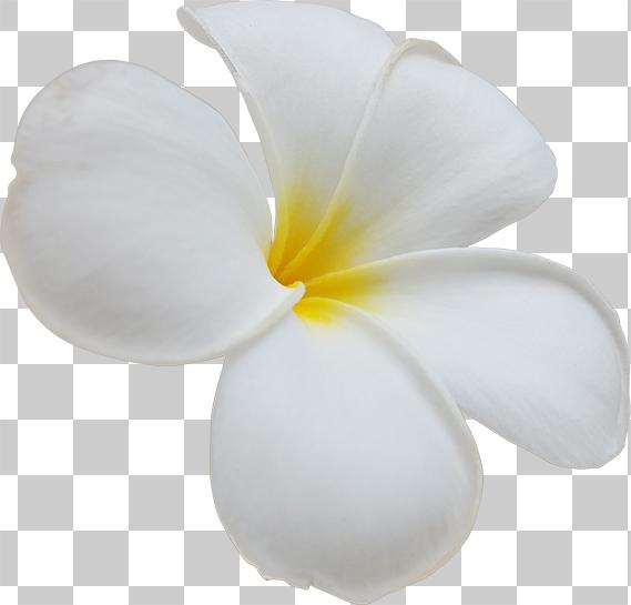 プルメリアの花の切り抜き画像