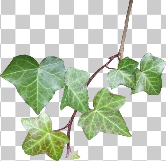 蔦草の切り抜き画像