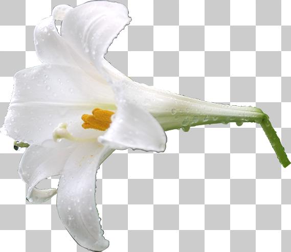 雨に濡れたテッポウユリの切り抜き画像