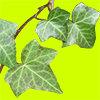 蔦草の葉の切り抜き画像