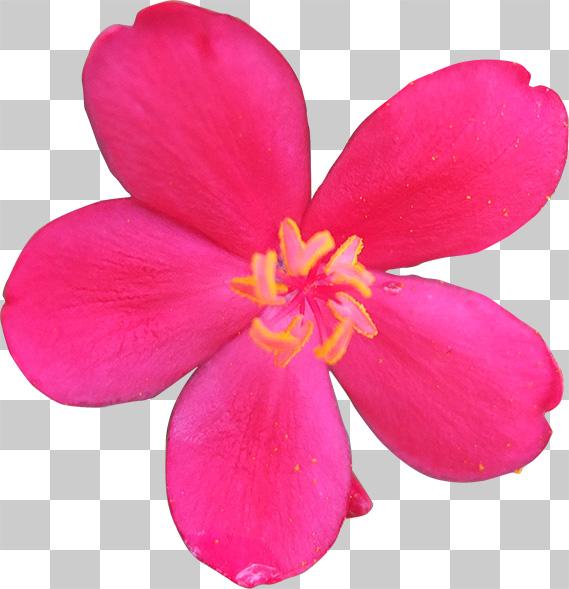 真上から見たピンク色の花の切り抜き透過画像