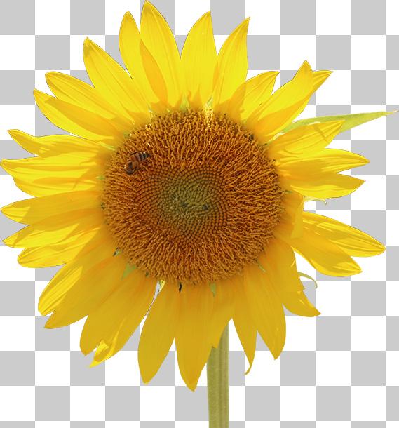 蜂がとまる、ひまわりの花の切り抜き透過画像