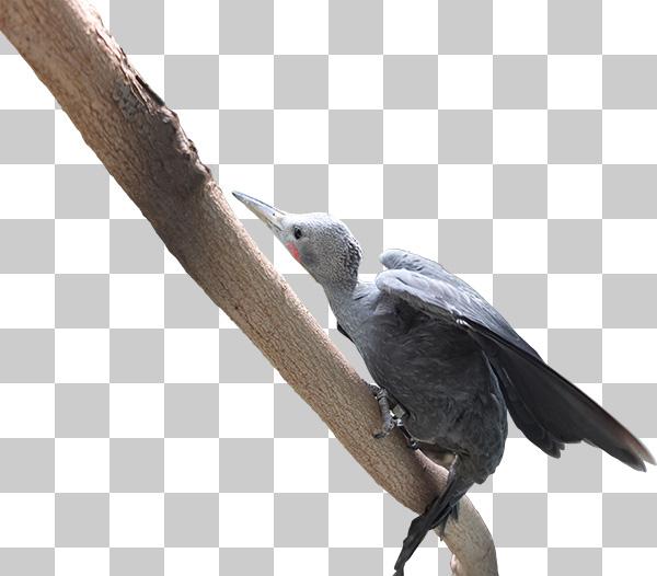 可愛い鳥、ボウシゲラの切り抜き透過画像