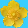 黄色の花、キンシバイ(金糸梅)の切り抜き透過画像