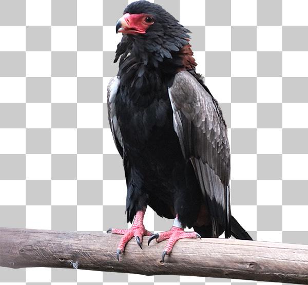 木に捕まる鷹の切り抜き透過画像