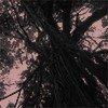 沖縄のカジュマルの切り抜き(白黒)画像