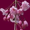 枝垂れ桜の花の切り抜き画像