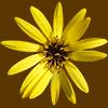 真上から見た黄色い花