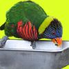 食事中のカラフルな鳥