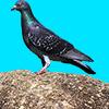 大きな石の上で遠くを見つめる鳩