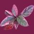 紫がかった葉の切り抜き透過画像