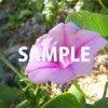 薄紫色の朝顔っぽい花