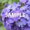 紫色に染まる紫陽花