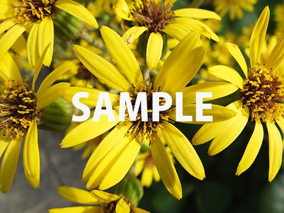 沖縄で見た黄色い花