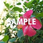 赤い色鮮やかなハイビスカスの花