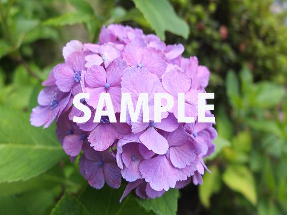 少し赤みがかった紫色の紫陽花