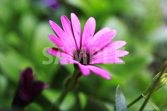 ピンクから紫にグラデーションがかる花