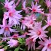 サボテン 星孔雀(ホシクジャク)の花の写真4枚