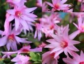 サボテン 星孔雀(ホシクジャク)の花
