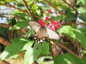 花の蜜を吸う白いアゲハ蝶