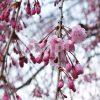 新宿御苑で撮影した枝垂桜