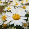 マーガレットの花をアップで接写