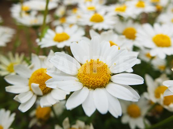 マーガレットの花をアップで