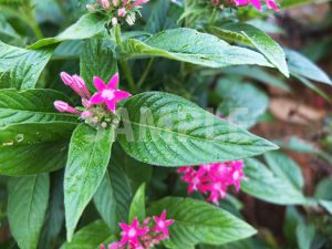 星形の小さなピンクの花