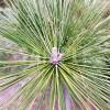 放射状に広がる松の葉