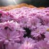 小さな菊の花の群れ