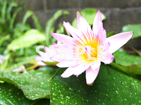 白みがかった紫の睡蓮の花