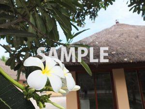 南国の植物、プルメリア